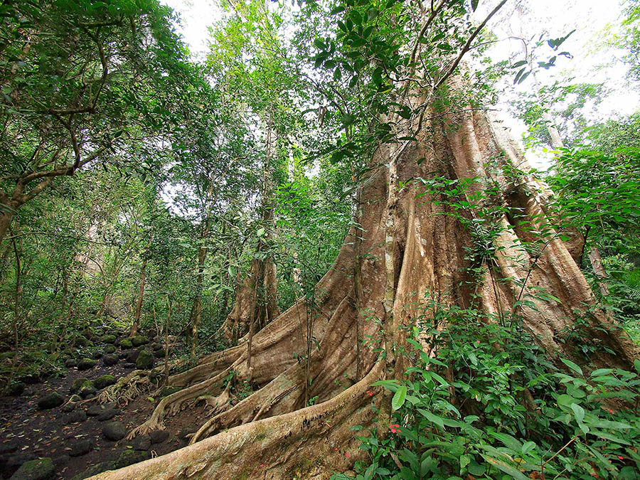 Cây cổ thụ trong vườn Cát Tiên