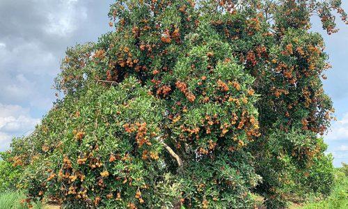 """Chỉ từ 20k """"ăn bao no"""" tại vườn trái cây Long Khánh – Vườn trái cây Dì 2"""